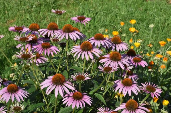 Echinacea growing in a garden