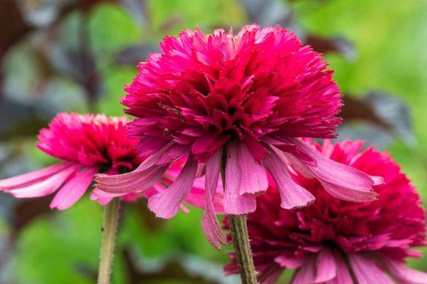 A double coneflower blossom