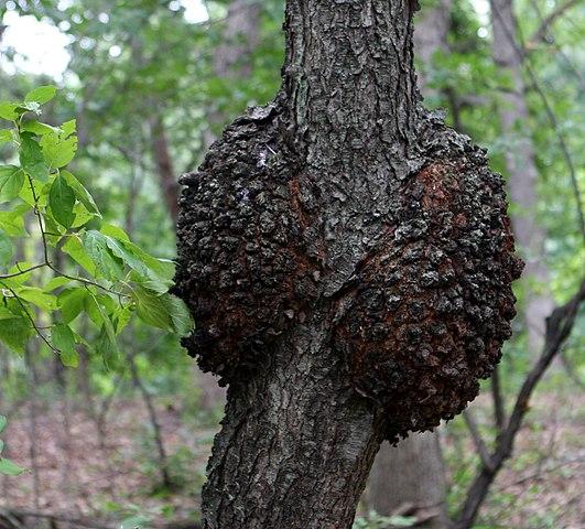 Black knot on growing cherries