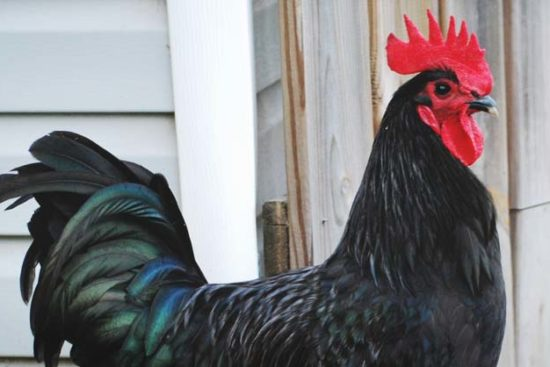 About Australorp Chickens: Excellent Egg Layers and Barnyard Pets