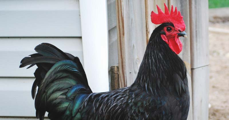 About Australorp Chickens Excellent Egg Layers And Barnyard