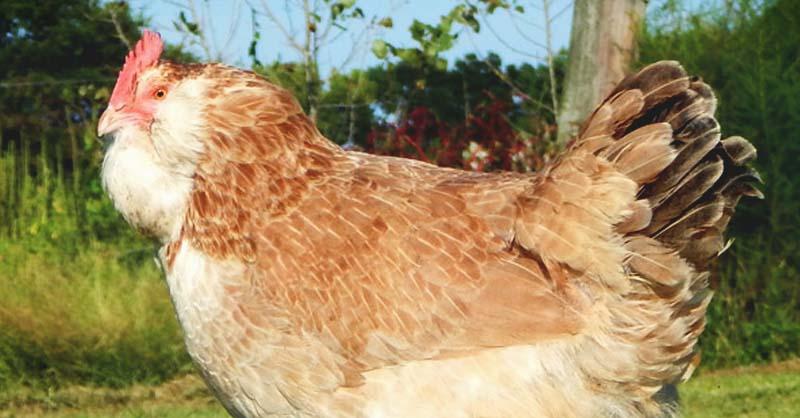 ameraucana chicken charming birds lay blue eggs