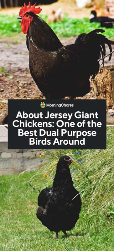 About Jersey Giant Chickens: One of the Best Dual Purpose