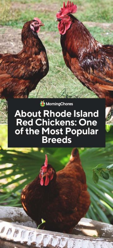 about rhode island red chickens  one of the most popular