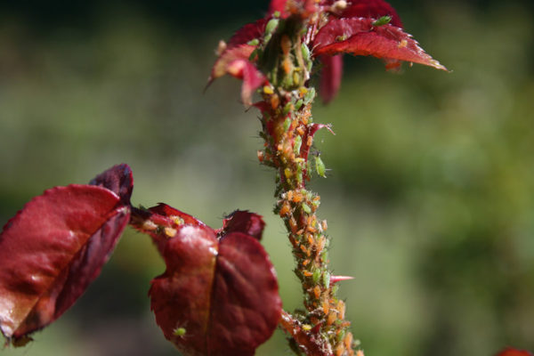 Aphids crawling on a plant stem