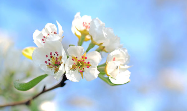 Apple blossoms on a growing apple tree