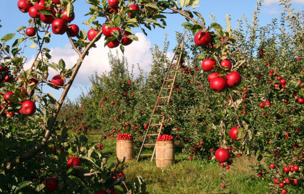 Growing apple trees in an orchard ready for harvest