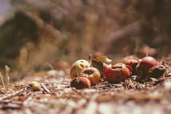 Fruit rotting on the ground