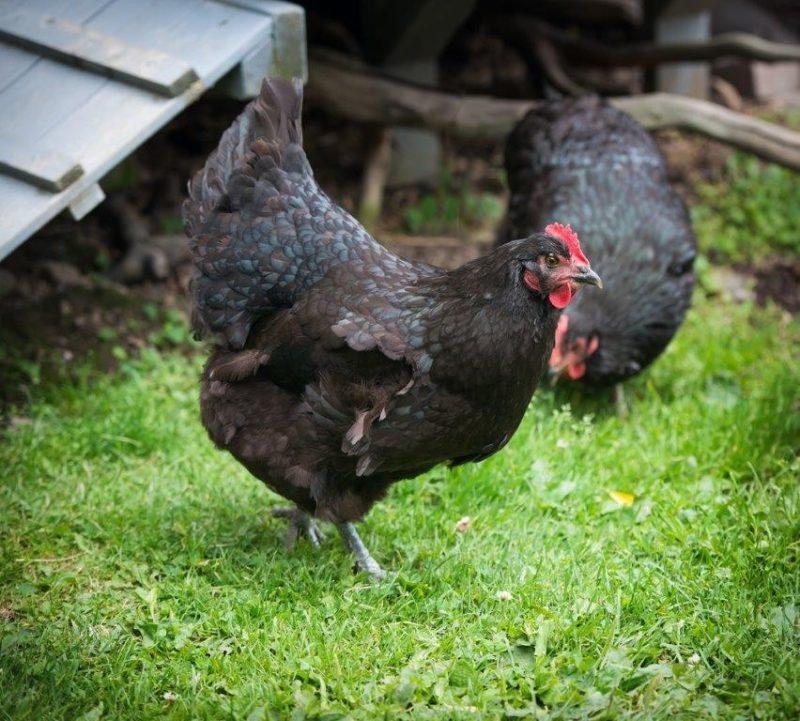 Black Australorp Hens