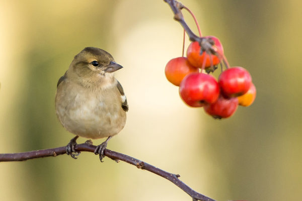 Bird sitting next to growing cherries on a branch