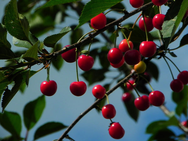 Sour cherry fruits on a tree branch