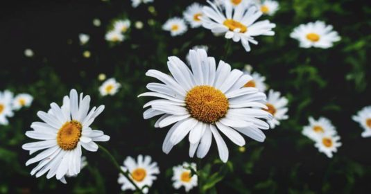 Growing Chamomile: The Complete Guide to Plant, Grow, and Harvest Chamomile