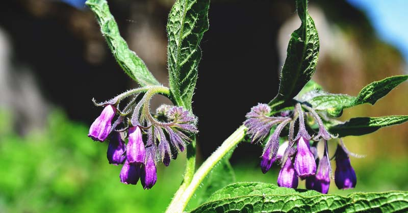 Growing Comfrey The Complete Guide To Plant Care And Harvest