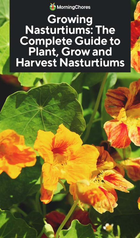 Growing Nasturtiums: The Complete Guide to Plant, Grow and ... on floss flower plant, peony plant, matricaria plant, rue plant, yarrow plant, zinnia plant, melampodium plant, cockscomb plant, pansy plant, wandering jew plant, peperomia plant, donkey ear plant, white poppy plant, marigold plant, calendula plant, tagetes plant, dusty miller plant, portulaca plant, cucumber plant,