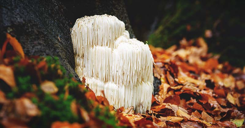 How to Grow Lion's Mane Mushrooms on Logs and Sawdust