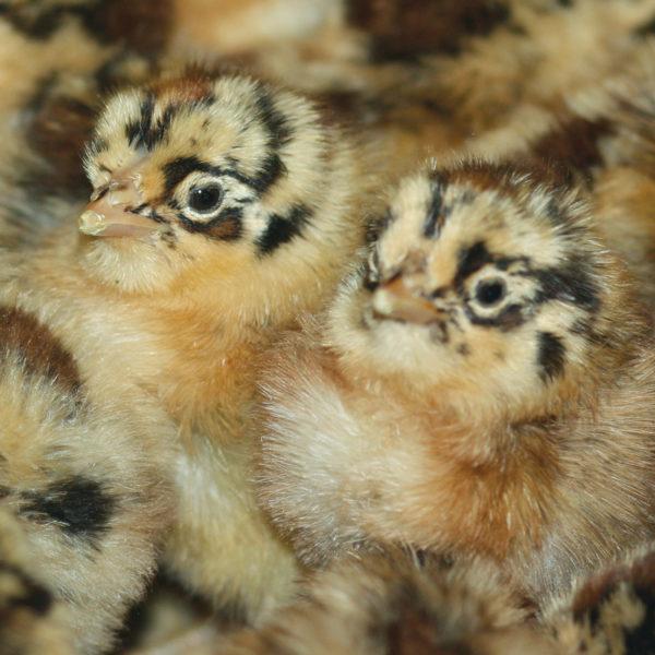 Sicilian Buttercup Chickens