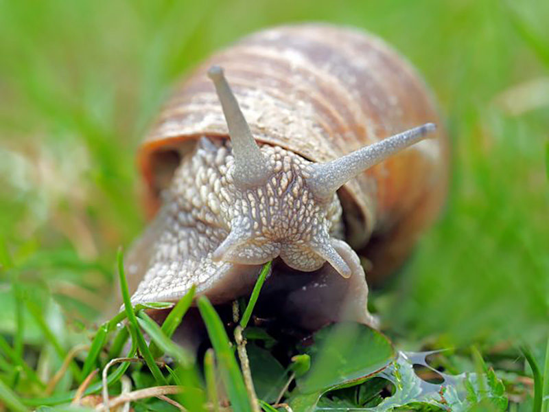 Snail in a garden can be infected with nematodes