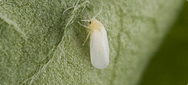 Whitefly on a leaf