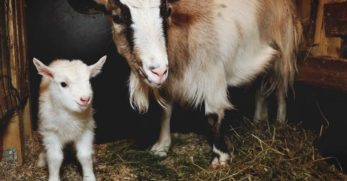 Essential Things You Need to Know About Feeding Goats