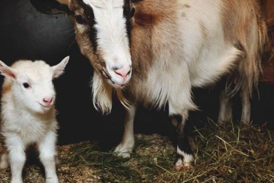 5 Goat Birth Complications You Need to Know Before Kidding Season