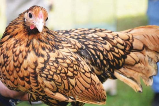 About Sebright Chickens: Dainty but Stunning Bantams
