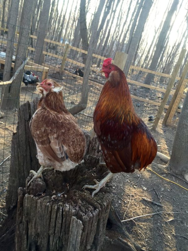 about araucana chickens  rumpless  blue egg layers