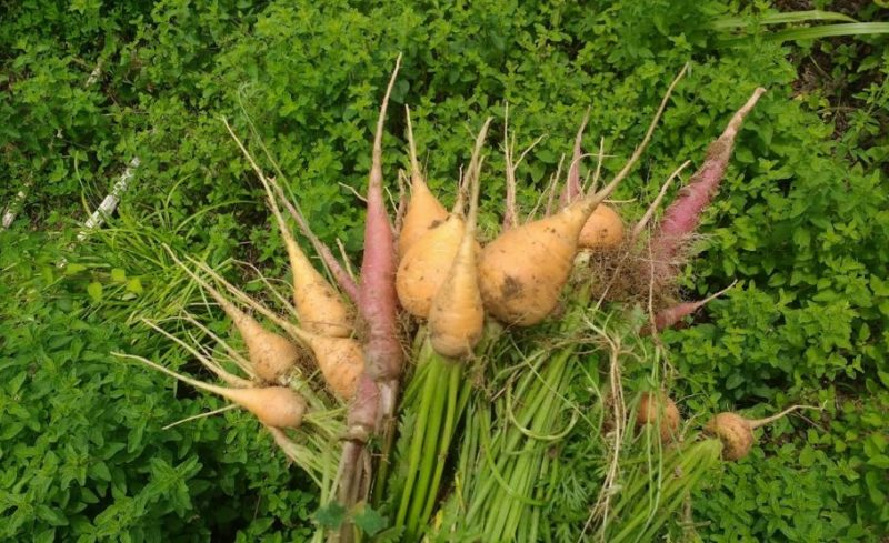 plant root structures - root vegetables