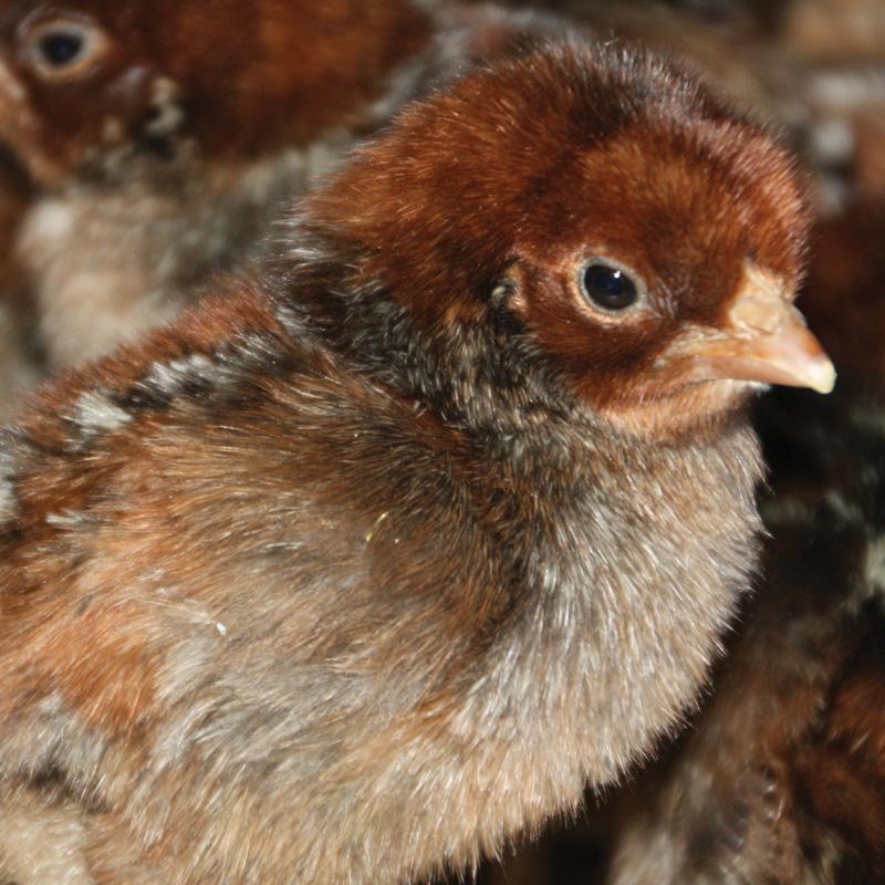 fayoumi chicks