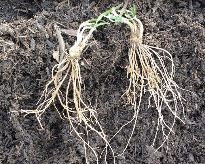 fibrous plant roots