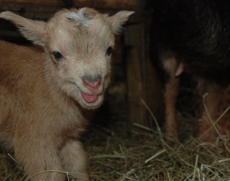 a happy baby goat