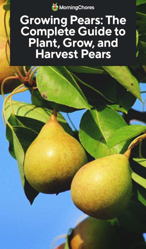 Growing Pears: The Complete Guide to Plant, Care, and