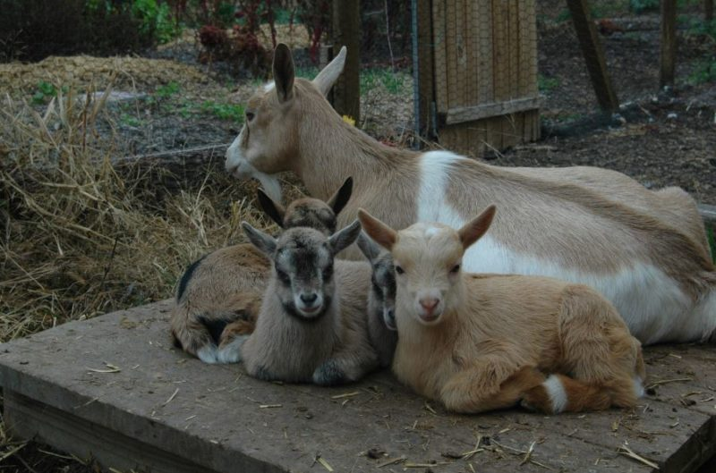 goat birth complications - triplets