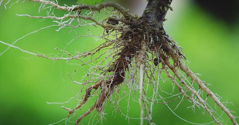 Vai trò của rễ và những yếu tố ảnh hưởng đến sự phát triển của rễ