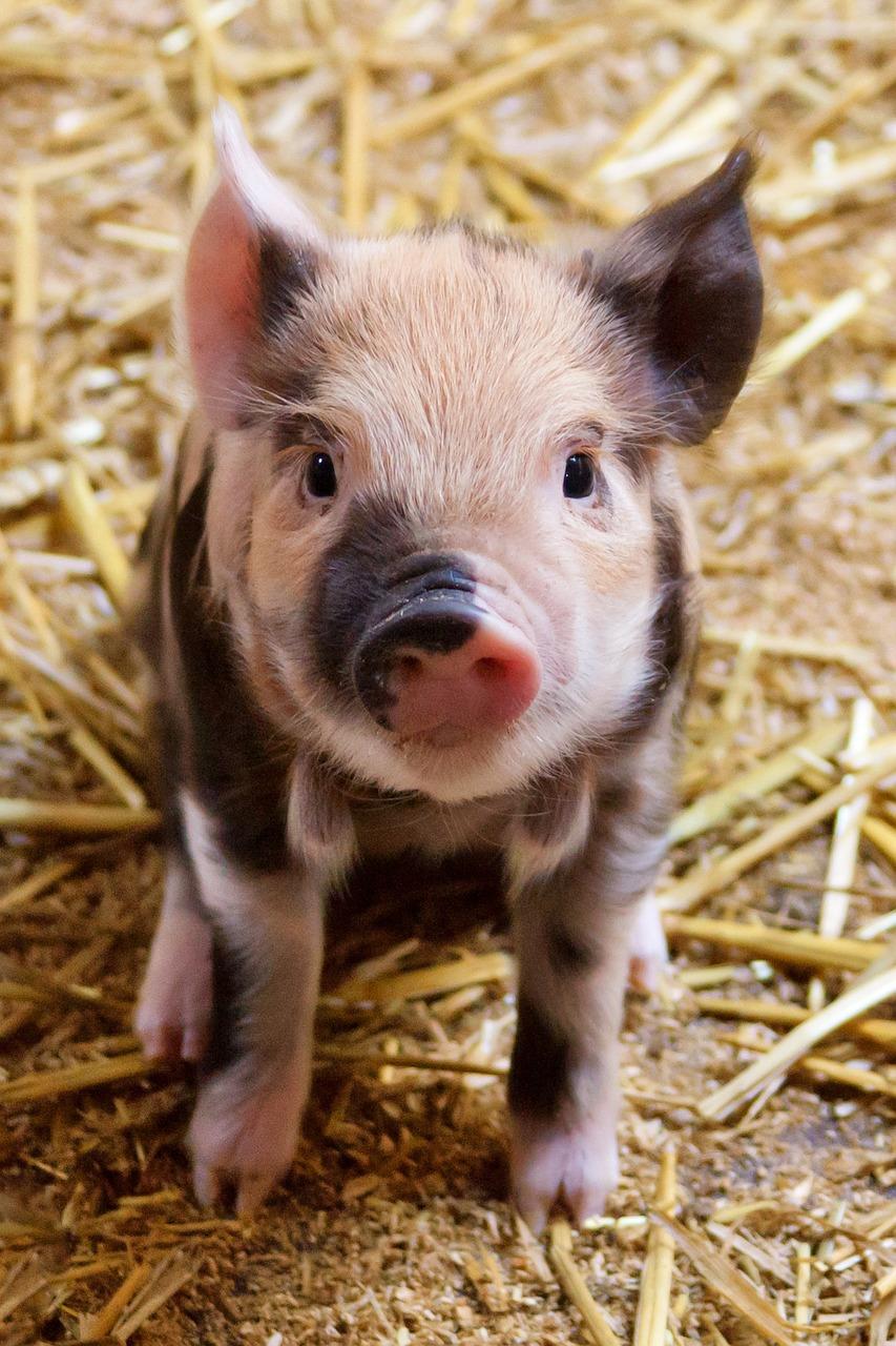 piglet feeding guide