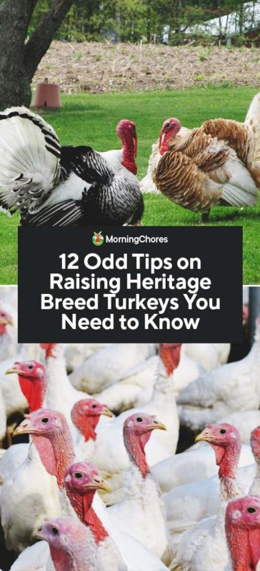 2d5e7b1a99 12 Odd Tips on Raising Heritage Breed Turkeys You Need to Know