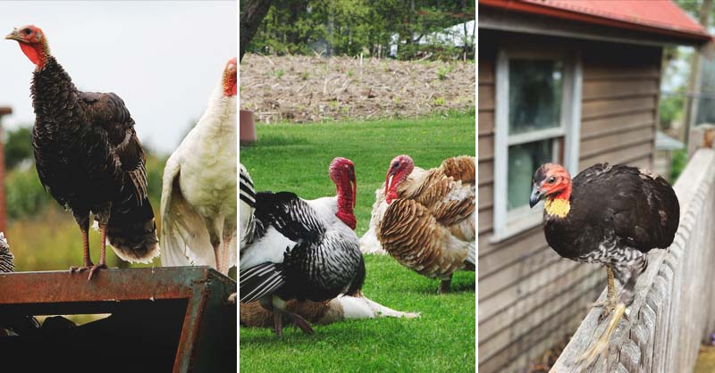 5fe5ecb495 9 Reasons Why Raising Turkeys Might Not Be Right For Some Homesteaders