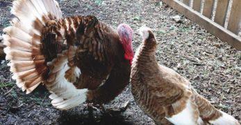 About Bourbon Red Turkeys: Distinguished Meat Birds