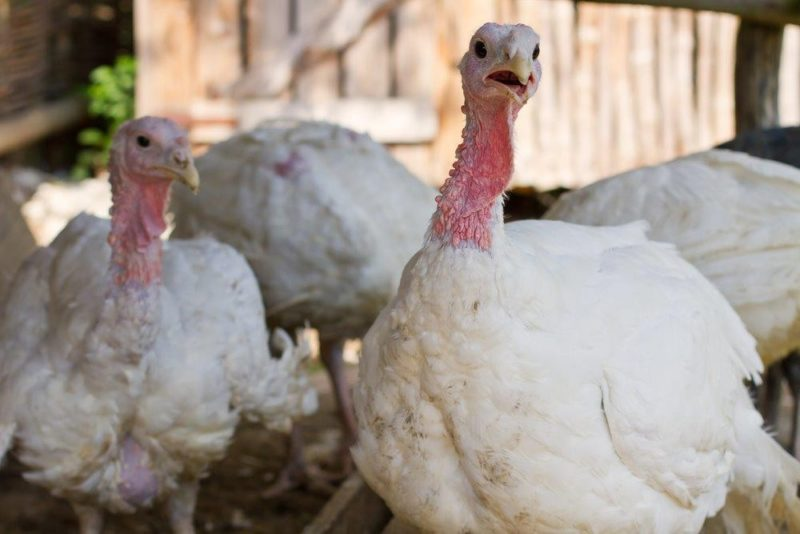 Broad Breasted White Turkeys