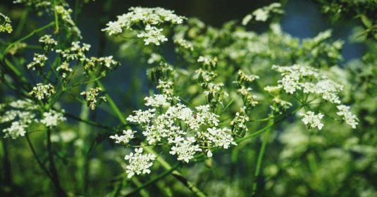 Growing Caraway: The Complete Guide to Plant, Grow and Harvest Caraway