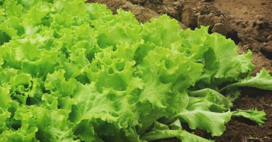 Growing Lettuce: How to Plant, Grow, and Harvest Fresh Lettuce