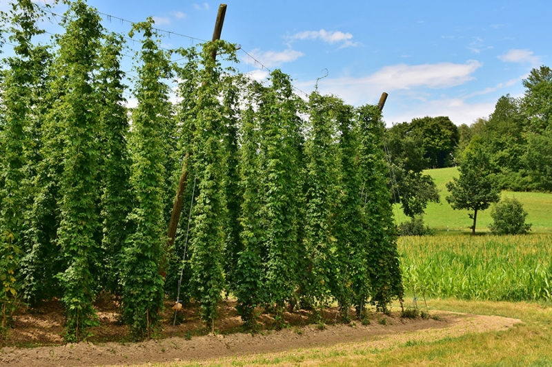 hop plants how to grow
