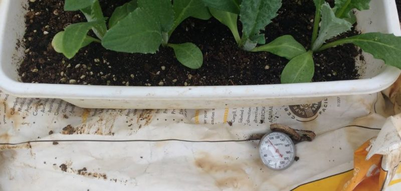 plants on top of a hotbed with a soil thermometer