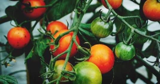 How To Identify and Stop Tomato Pests in Their Tracks