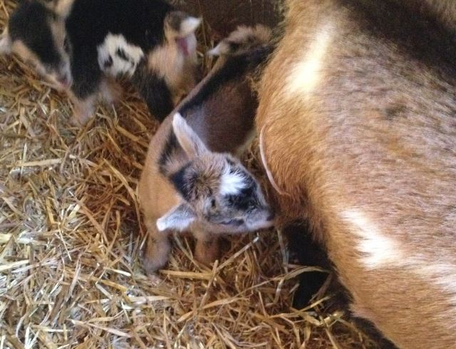 colostrum and kids