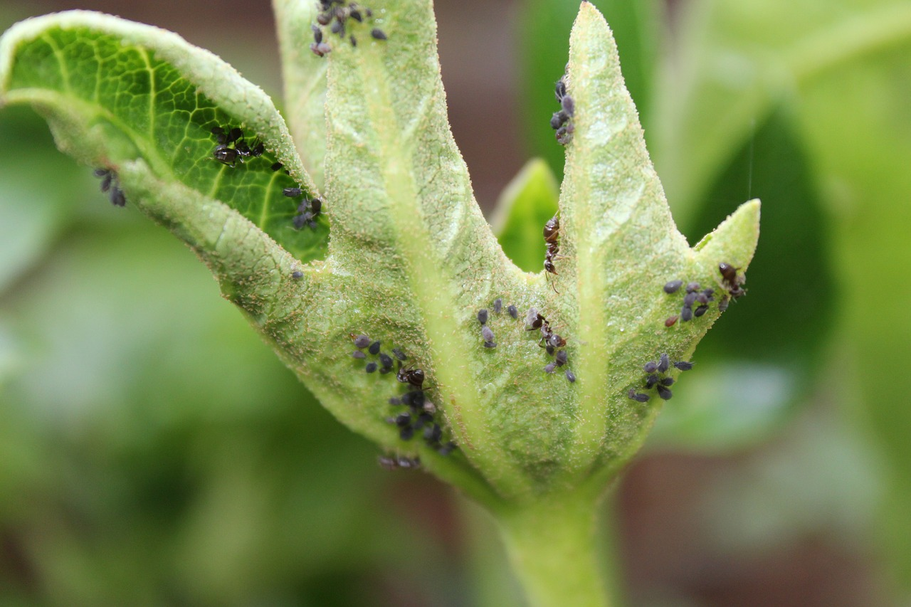 Aphids in a sickly leave