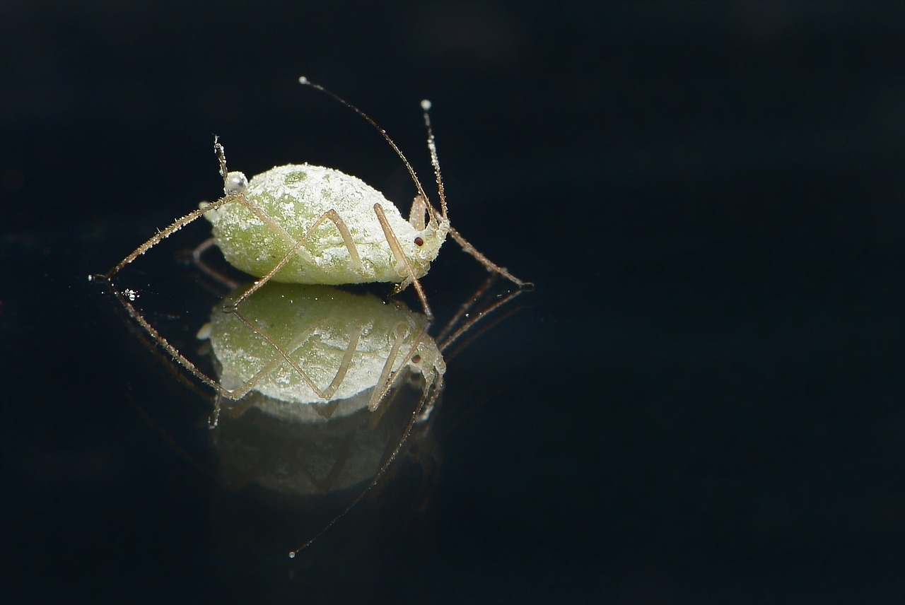 Solitary aphid