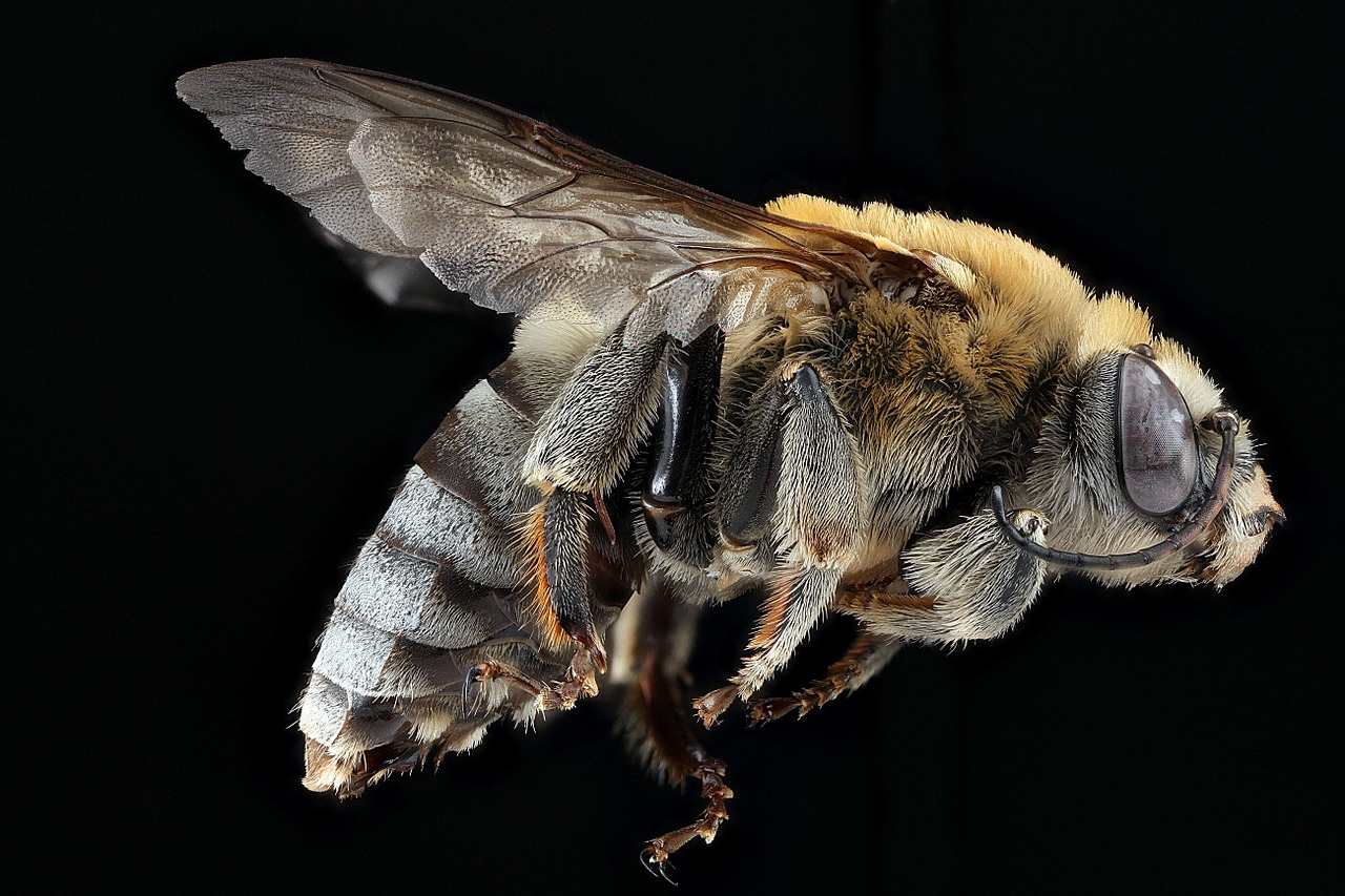 A type of honey bee