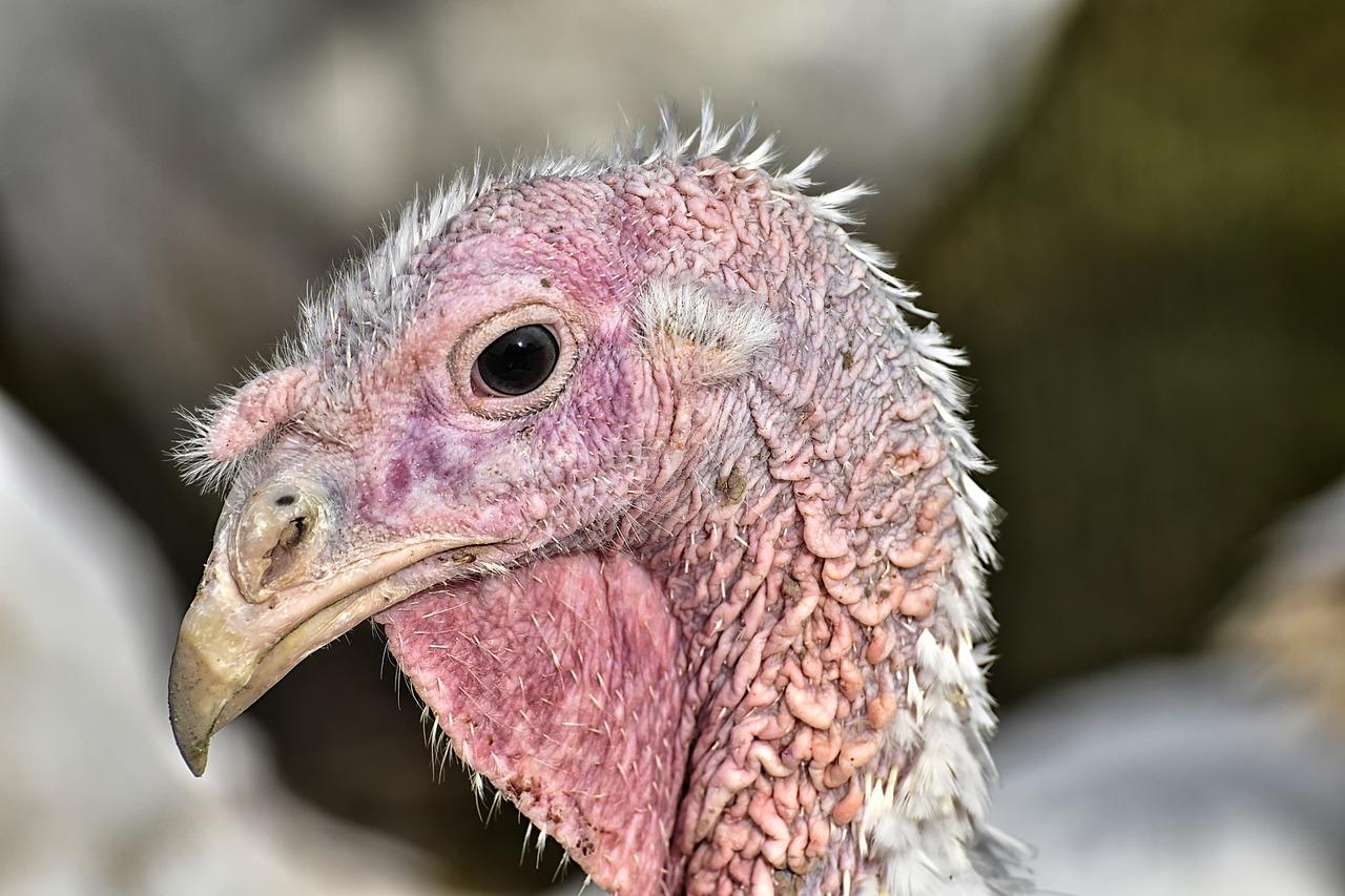 raising turkey poults