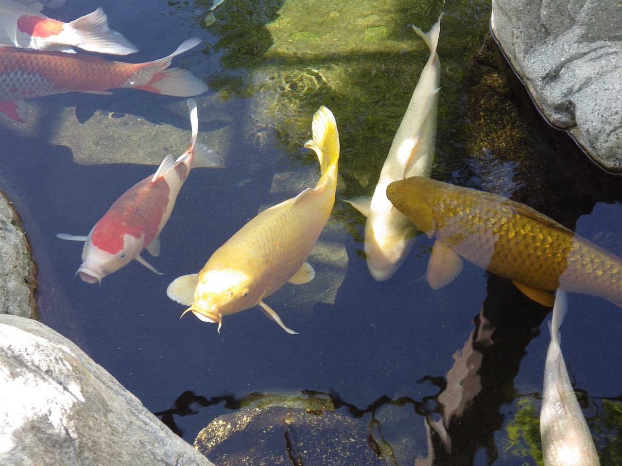 koi for for your aquaponics