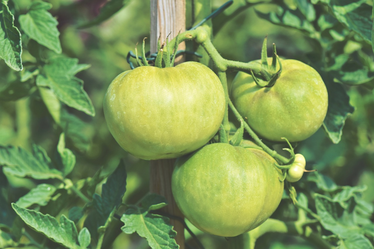 May gardening tips for tomatoes